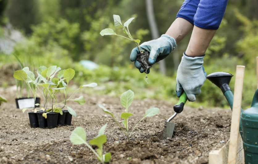planting organic broccoli